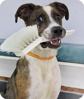 Catahoula Leopard Dog Mix Dog for adoption in Penngrove, California - Cowgirl