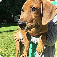Hound (Unknown Type) Mix Puppy for adoption in Boca Raton, Florida - Skinny Vinny