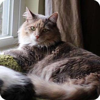 Domestic Mediumhair Cat for adoption in Raleigh, North Carolina - Miss Marple