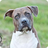 Hound (Unknown Type)/American Bulldog Mix Dog for adoption in Tuskegee, Alabama - Premo