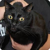 Adopt A Pet :: Bagheera - Brooklyn, NY