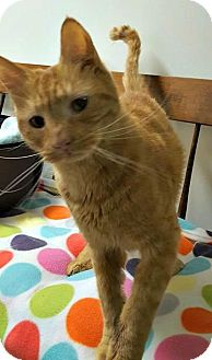 American Shorthair Cat for adoption in Cranston, Rhode Island - Pumpkin Spice