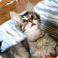 Domestic Mediumhair Kitten for adoption in Sheboygan, Wisconsin - Bam Bam