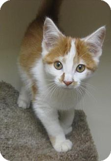 Domestic Shorthair Kitten for adoption in Gary, Indiana - Tizzy