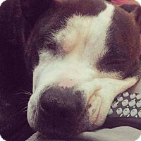 American Staffordshire Terrier Mix Dog for adoption in Charlotte, North Carolina - Cammie