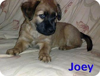 Hound (Unknown Type) Mix Puppy for adoption in Akron, Ohio - 'N SYNC Litter: Joey (applications under review)