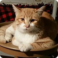 Domestic Shorthair Cat for adoption in Minneapolis, Minnesota - George