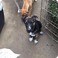 Belgian Malinois/Bull Terrier Mix Puppy for adoption in BONITA, California - PABLITO