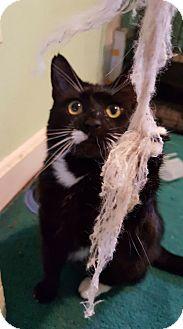 Domestic Shorthair Cat for adoption in Bensalem, Pennsylvania - Hook