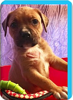 Pit Bull Terrier Puppy for adoption in Cat Spring, Texas - Ralph