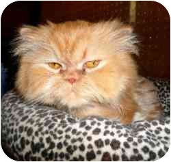 Persian Cat for adoption in Strathmore, Alberta - McGee