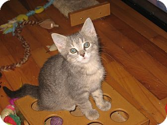 Domestic Mediumhair Kitten for adoption in Portland, Maine - Grace