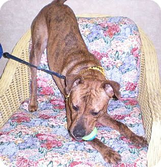 """American Pit Bull Terrier Mix Dog for adoption in New Castle, Pennsylvania - """" Levi """""""