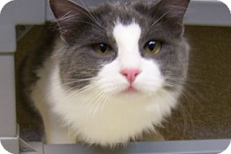 Domestic Longhair Cat for adoption in Grants Pass, Oregon - Madison