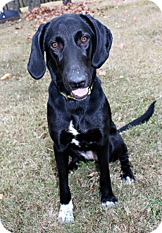 Labrador Retriever/Hound (Unknown Type) Mix Dog for adoption in Marietta, Georgia - Magpie