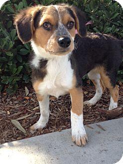 SYDNEY | Adopted Puppy | Laura/AussieMixfemPup | Irvine ...