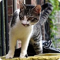 Adopt A Pet :: Simba - Brooklyn, NY