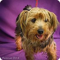 Adopt A Pet :: Little Bear - Broomfield, CO
