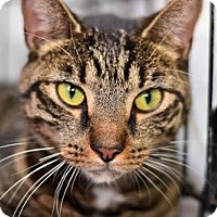 Adopt A Pet :: Violet - Queens, NY