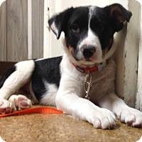 Adopt A Pet :: Todd - Flemington, NJ