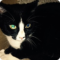 Adopt A Pet :: Domino - Baltimore, MD