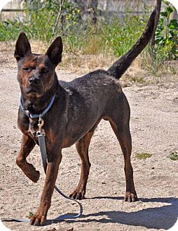 German Shepherd Dog/Pit Bull Terrier Mix Dog for adoption in Poway, California - Radar