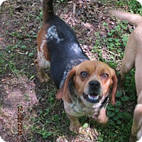 Beagle Dog for adoption in Portland, Maine - SPECK