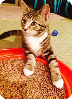 Domestic Shorthair Kitten for adoption in Marlton, New Jersey - Davy