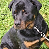 Rottweiler Dog for adoption in Darlington, Maryland - Sergio