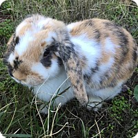 Adopt A Pet :: Lopsy - Los Angeles, CA