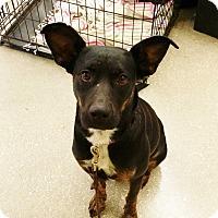 Australian Kelpie/Terrier (Unknown Type, Medium) Mix Dog for adoption in Olympia, Washington - Sola