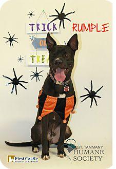 Shepherd (Unknown Type) Mix Dog for adoption in Covington, Louisiana - Rumple
