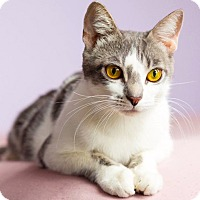 Adopt A Pet :: Georgette the Gorgeous Golden-Eyed Girl - Brooklyn, NY