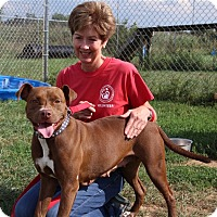 American Pit Bull Terrier Mix Dog for adoption in Elyria, Ohio - Zena