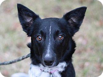 Border Collie Mix Dog for adoption in Staunton, Virginia - Brennan