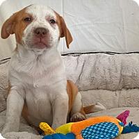 Adopt A Pet :: Rosey Pei - Las Vegas, NV