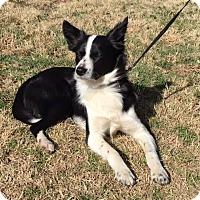Adopt A Pet :: Pogo - Snyder, TX