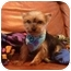 Photo 1 - Yorkie, Yorkshire Terrier Mix Puppy for adoption in The Villages, Florida - Charlie