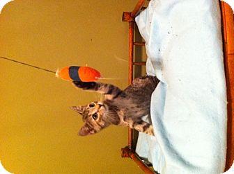 American Bobtail Kitten for adoption in Simpsonville, South Carolina - Dora