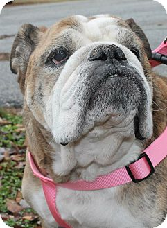 English Bulldog Dog for adoption in Winder, Georgia - Mia