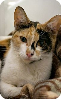 Calico Cat for adoption in Brooklyn, New York - Elizabeth