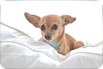 Chihuahua Mix Dog for adoption in Nashville, Tennessee - Piccolo