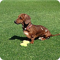 Adopt A Pet :: Rocket - Scottsdale, AZ