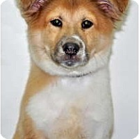 Adopt A Pet :: Brooke - Port Washington, NY