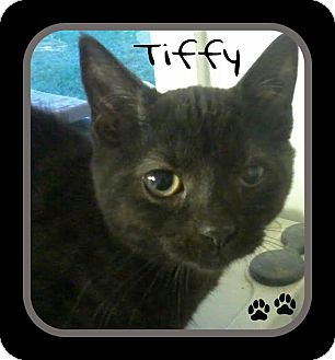 Domestic Shorthair Cat for adoption in Princeton, West Virginia - Tiffy