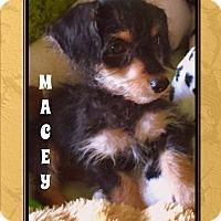 Adopt A Pet :: MACEY - Higley, AZ