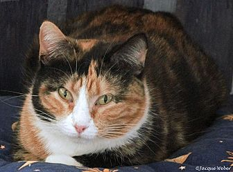 Domestic Shorthair Cat for adoption in St Louis, Missouri - Dasher