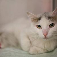 Turkish Van Cat for adoption in Bartlett, Illinois - Elmyra