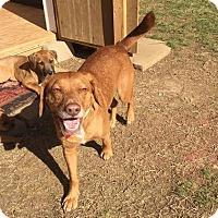 Redbone Coonhound/Labrador Retriever Mix Dog for adoption in Gallatin, Tennessee - Tucker