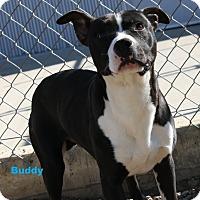 Pit Bull Terrier/Labrador Retriever Mix Dog for adoption in San Antonio, Texas - Buddy